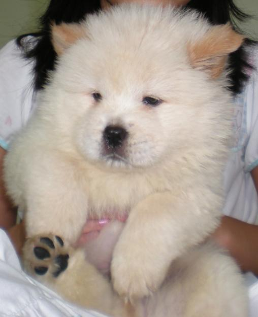 Chow Chow Puppy Dogs high resolution widescreen