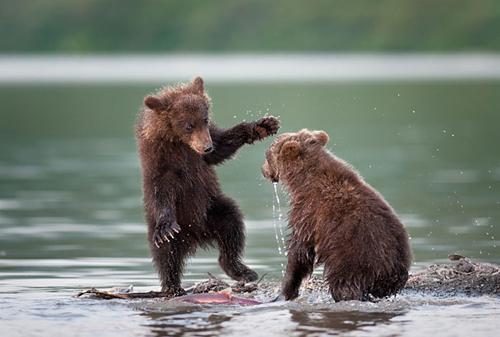 Ursos surfando