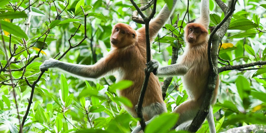 proboscis monkeys in Tarakan, East Kalimantan, Indonesia