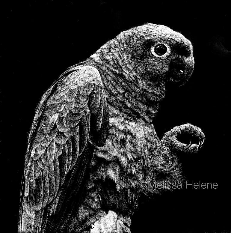 08-Parrot-Melissa-Helene-Amazing-Expressions-in-Scratchboard-Animal-Portraits-www-designstack-co