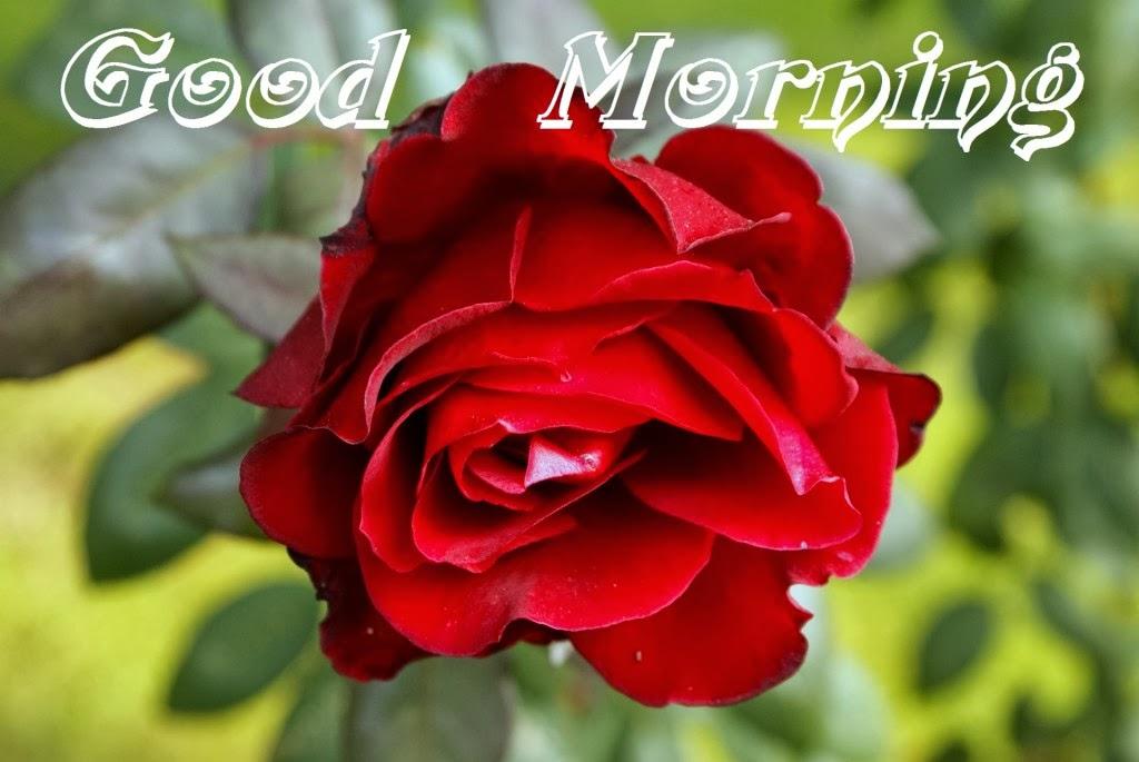 Good morning red rose for girlfriends wallpaper hindi - Good morning rose image ...
