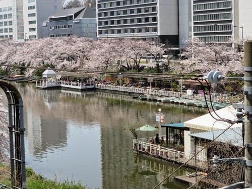 飯田橋カナルカフェの桜03