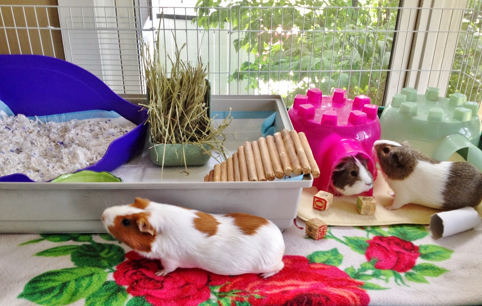 Cute guinea pigs happily exploring their clean home.