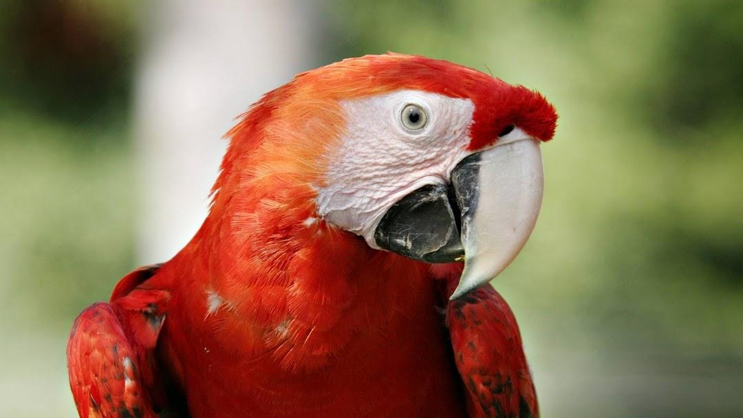 Red Parrot HD Wallpaper