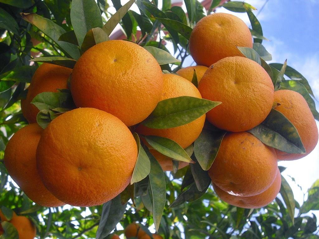 القيمة الغذائية والفوائد العظيمة لفاكهة البرتقال