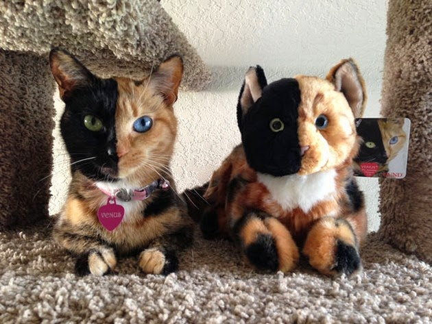 two-faced-cat-1