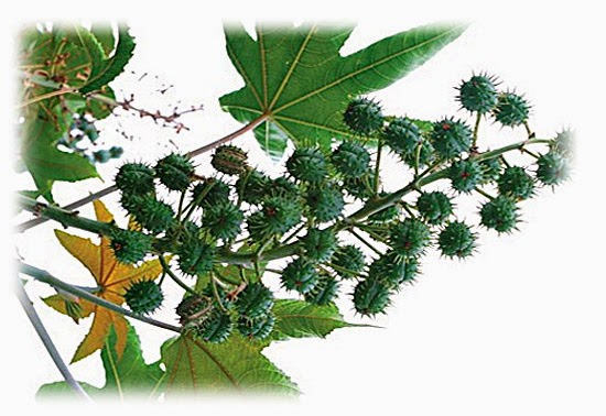 Plantas venenosas - Mamona (Ricinus Communis)