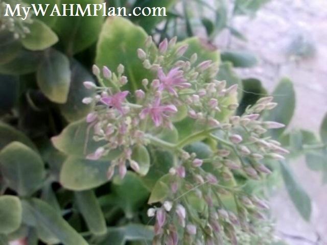 My WAHM Plan: Succulent blooms