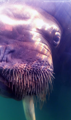 Walrus Experience face closeup Six Flags Discovery Kingdom