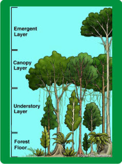 Four Layers of the Rainforest