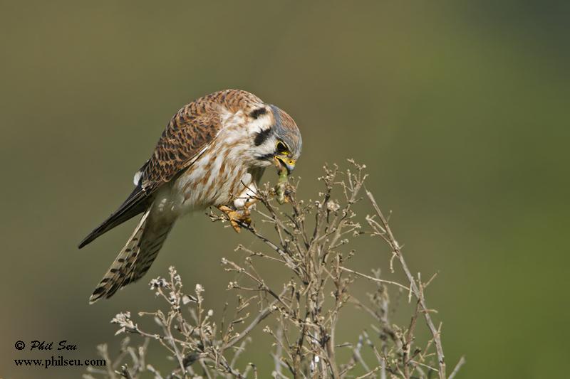 Falconiformes. sub Falconidae - sub fam Falconinae - gênero Falco - Página 3 American+Kestrel+feeding+on+a+worm