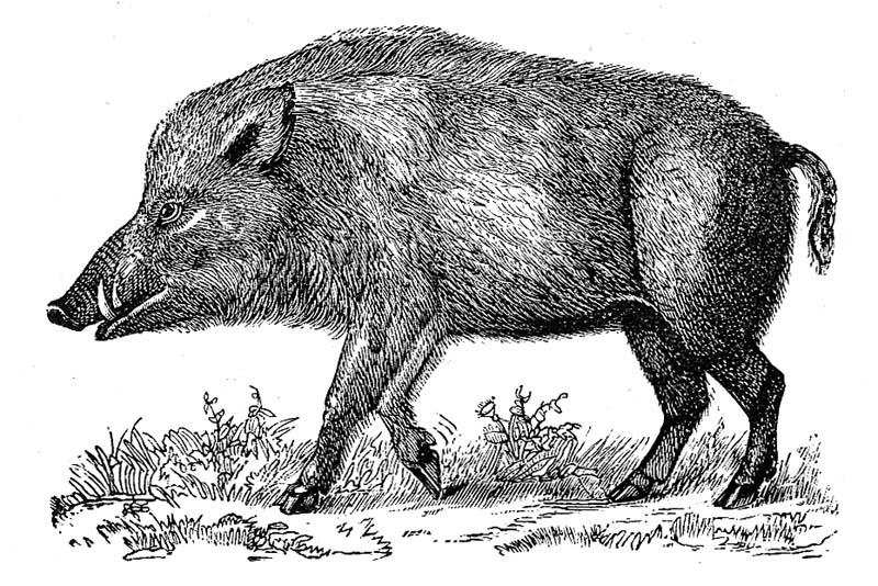 猪 撃退法