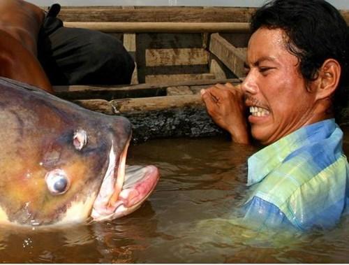 [Khám Phá] - Huyền thoại cá thầy chùa trên dòng Cửu Long 7