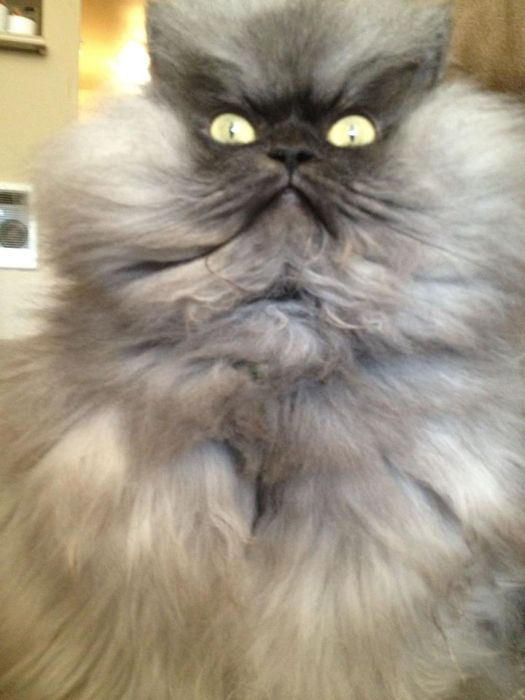 Colonel Meow Is The World S Angriest Looking Cat Damn