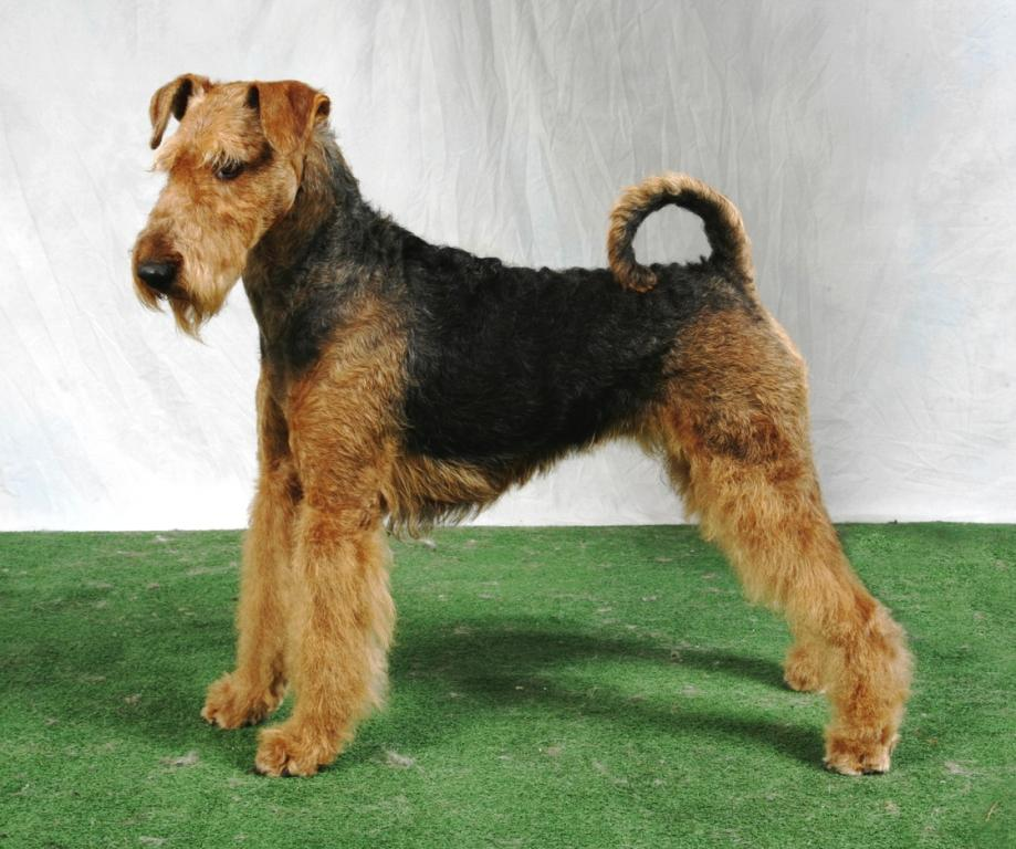 Airedale Terrier Dog Pictures  Terrier Dog Breeds Pictures and Information