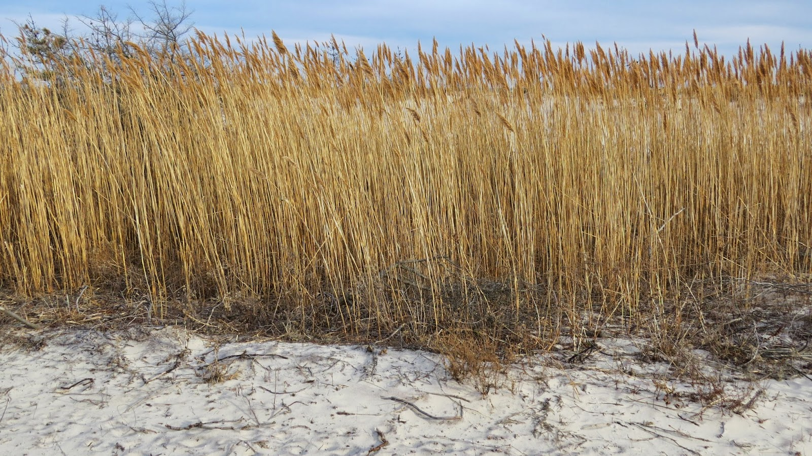 Fire-Island-Grasses-in-Early-Spring