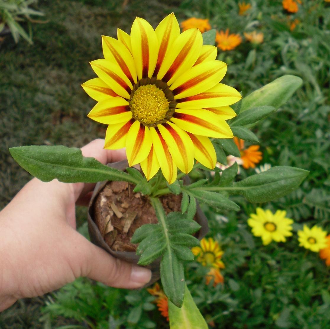 Plantas do meu jardim gaz nia gazania rigens - Plantas para pleno sol ...