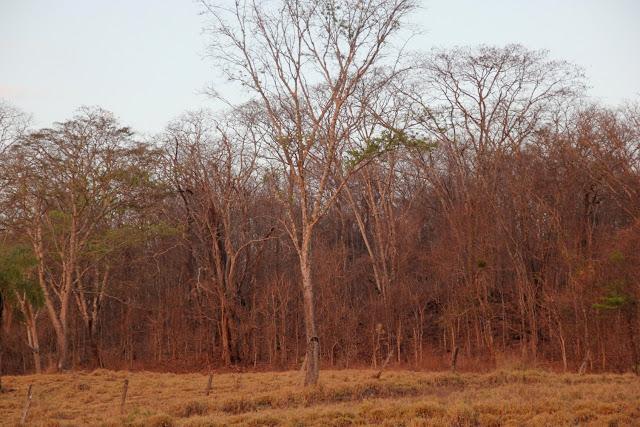 Numa aproximação maior,  as árvores do Cerradão parecem mortas com a estação da seca