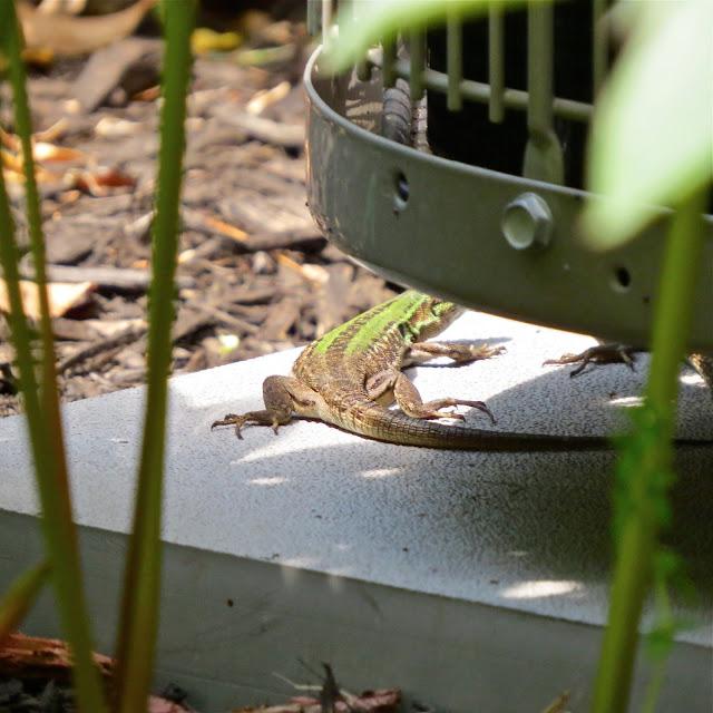 Italian-Wall-Lizards-in-Garden-City
