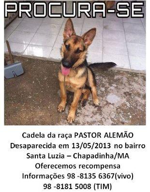 Procura-se Kika, uma cadela da raça Pastor Alemão