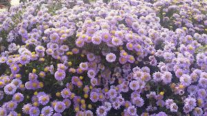 Como Sonbahar Çiçekleri