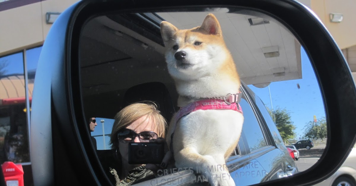 Image Result For Can A Shiba