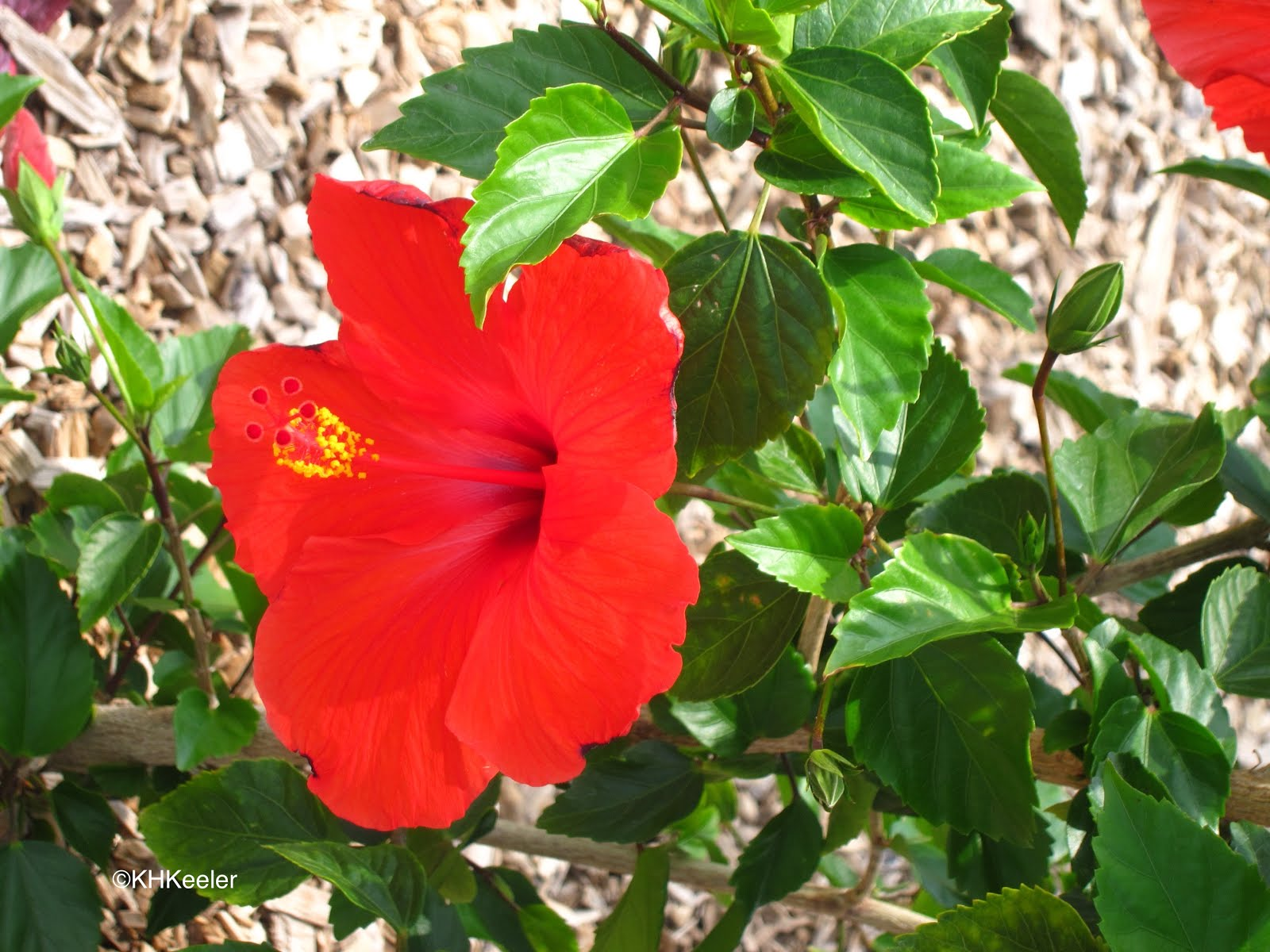 A wandering botanist plant story hibiscus hibiscus izmirmasajfo Choice Image