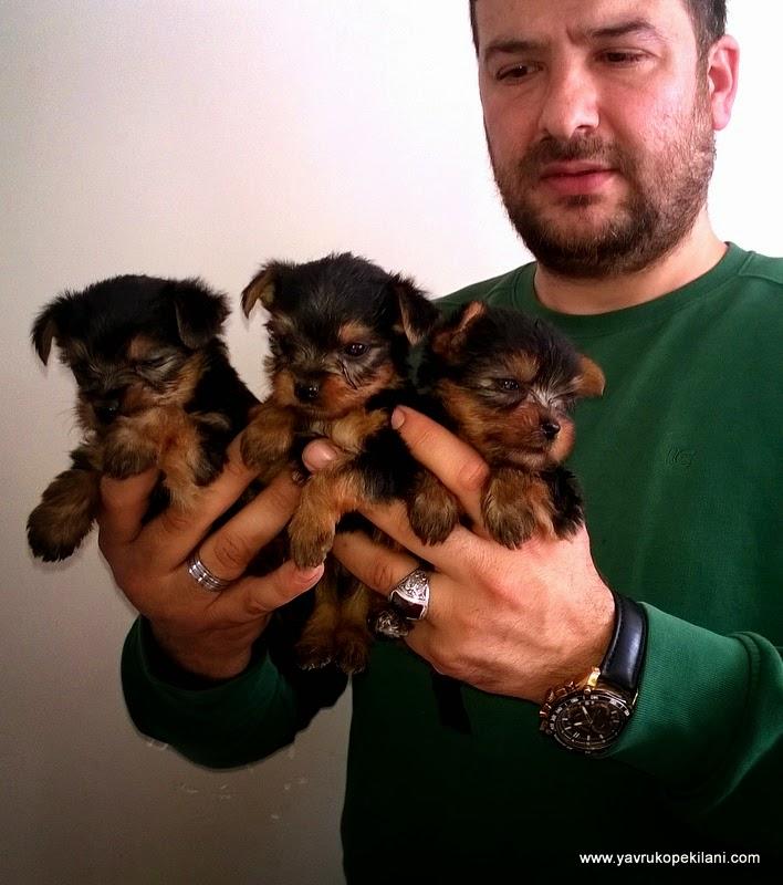 yorkshire terrier yavruları