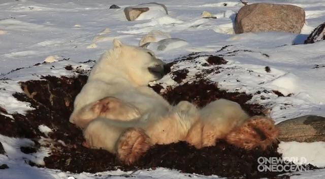 El oso polar más perezoso nunca antes captado en video