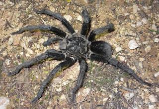 Tarantula Hispaniolan Giant Phormictopus cancerides Arachnida poisonous spider animal pets