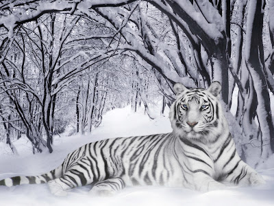 White Tiger Wallpapers 03