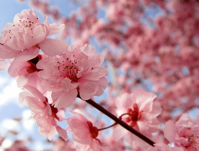 Gormay Nails: Cherry Blossom Nails