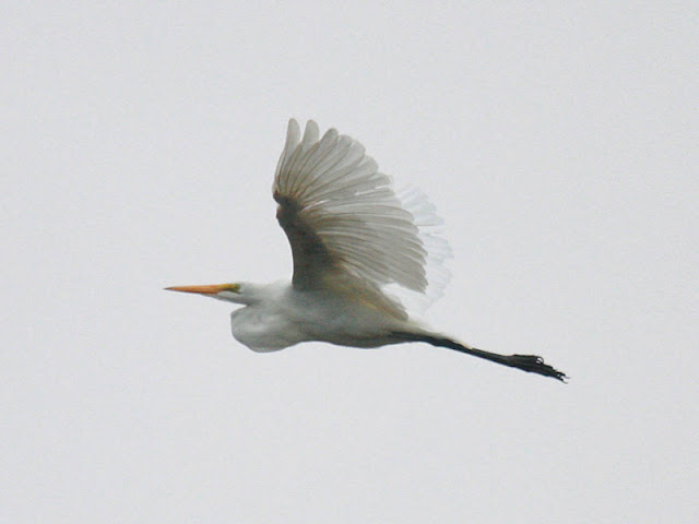 Figure 8: Long, broad, rounded wings, yes. But it is the long, sharp-pointed bill, neck tucked in a loop, and very long trailing legs beyond a short tail that identifies this Great Egret as belonging to the heron family.