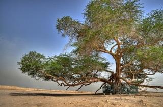 7 Pohon Terbesar Di Dunia Yang Berusia Ratusan Tahun