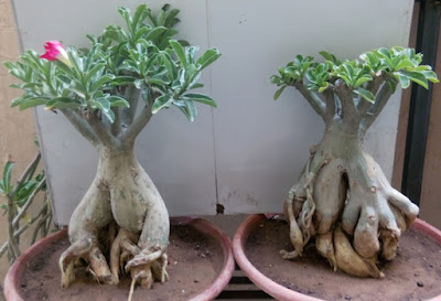 Adenium Bonsai Plants