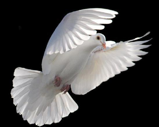 cool daily pics white dove background wallpapers