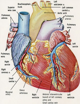KNOW UR HEART: ANATOMY OF THE HEART