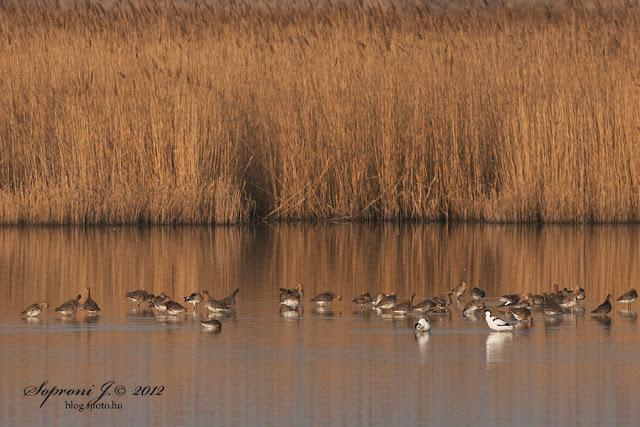 Gulipánok és nagy godák (Recurvirostra avosetta, Limosa limosa)