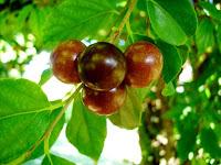 buah rukam
