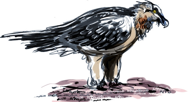 Bearded Vulture sketch painting. Bird art drawing by illustrator Artmagenta