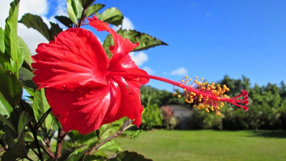 Hibiscus en fleur