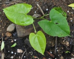 Planta de ñame o dioscorea cayenensis