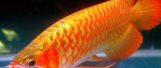 7 Ikan Termahal Di Dunia