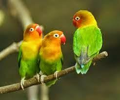 Peluang Usaha Modal Kecil Love Bird Untuk Hasilkan Keuntungan