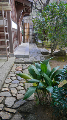 Aspidistra (Cast Iron Plant) at Ryoan-ji