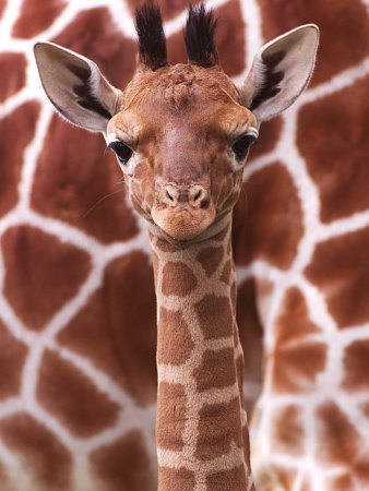 a three week old baby giraffe at whipsnade wild animal park