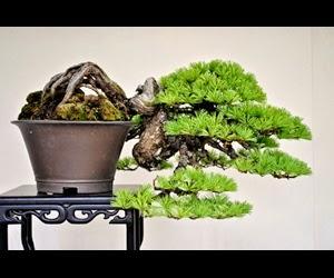 """<img src=""""bonsai5.jpg"""" alt=""""foto bonsai"""">"""