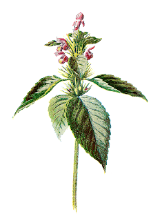 botanical wildflower clip art