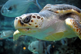 A Visit With Loggerhead Turtles
