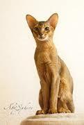 ruddy abyssinian - Tawny - Usual